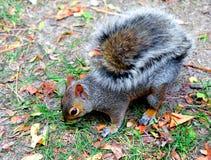 Esquilo que come uma porca imagens de stock