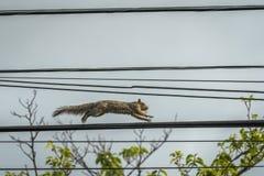 Esquilo que corre no fio de telefone imagem de stock