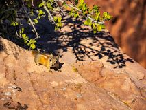 Esquilo que dá uma corrida em rochas do deserto imagens de stock royalty free
