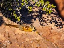 Esquilo que descansa em rochas do deserto imagem de stock