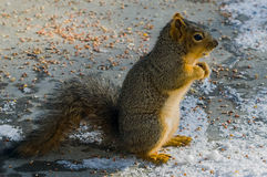 Esquilo que está final Fotos de Stock Royalty Free
