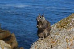 Esquilo que está na rocha Imagem de Stock Royalty Free