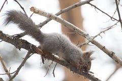 Esquilo que faz o liber para o ninho Fotografia de Stock