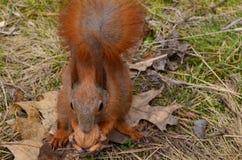 Esquilo que guarda a noz Imagens de Stock Royalty Free