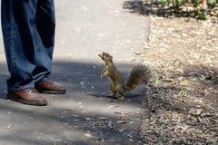 Esquilo que implora pelo alimento fotografia de stock