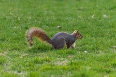 Esquilo que joga na grama fotos de stock royalty free
