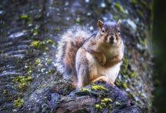 Esquilo que olha para trás na câmera fotografia de stock royalty free