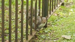 Esquilo que olha a você Fotografia de Stock