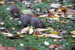 Esquilo que procura o alimento Fotos de Stock Royalty Free