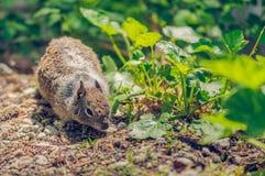 Esquilo que procura o alimento na floresta Fotos de Stock