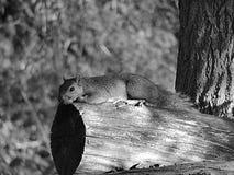 Esquilo que relaxa Fotografia de Stock Royalty Free
