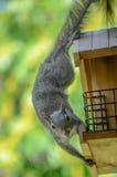 Esquilo que rouba o Birdfeeder fotografia de stock royalty free