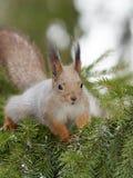 Esquilo que senta-se em ramos do abeto vermelho imagens de stock royalty free