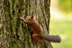 Esquilo que senta-se em uma árvore Fotos de Stock Royalty Free