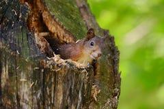 Esquilo que senta-se em uma árvore Foto de Stock Royalty Free