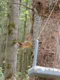 Esquilo que senta-se em uma árvore Fotografia de Stock
