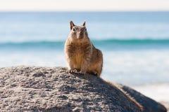 Esquilo que senta-se em uma rocha na praia Imagem de Stock Royalty Free