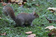 Esquilo que senta-se na grama Imagens de Stock