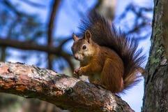 Esquilo que senta-se nos ramos Imagens de Stock