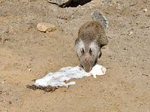 Esquilo que suga o gelado foto de stock