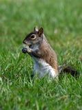 Esquilo que toma uma mordida Foto de Stock Royalty Free