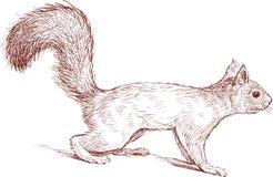 Esquilo rigoroso Fotografia de Stock