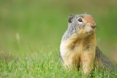 Esquilo Rocky Mountains do esquilo à terra Foto de Stock