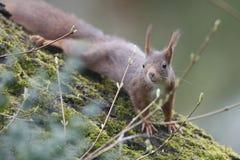 Esquilo (Sciurus vulgar), escalando para baixo uma árvore de noz com musgo Fotos de Stock Royalty Free