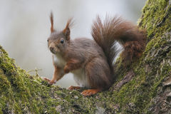 Esquilo (Sciurus vulgar), sentando-se em uma árvore de noz com musgo Fotografia de Stock