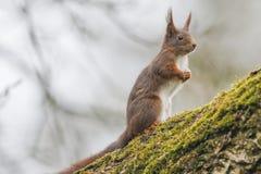 Esquilo (Sciurus vulgar), sentando-se em uma árvore de noz com musgo Foto de Stock