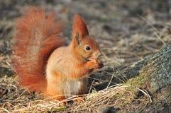 Esquilo - Sciurus vulgaris Imagens de Stock