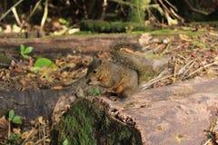 Esquilo selvagem Foto de Stock Royalty Free