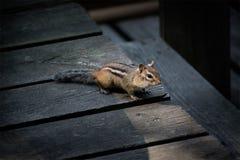 Esquilo selvagem em uma plataforma da casa de campo fotos de stock