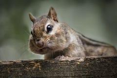 Esquilo selvagem em uma plataforma da casa de campo fotografia de stock royalty free