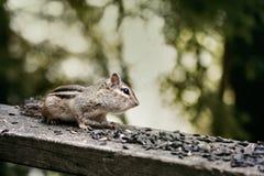 Esquilo selvagem em uma plataforma da casa de campo que come a semente do pássaro imagem de stock royalty free