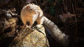 Esquilo selvagem - Zion National Park, EUA Imagem de Stock Royalty Free