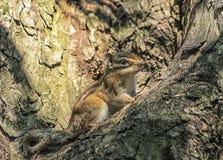 Esquilo Siberian ou comum do esquilo, eutamias Fotografia de Stock Royalty Free