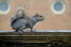 Esquilo sob a chuva Foto de Stock