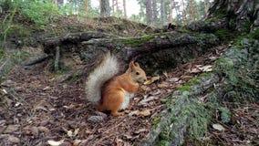 Esquilo sob uma árvore Foto de Stock