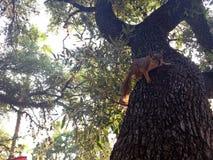 Esquilo sobre a árvore pronta para saltar Imagens de Stock