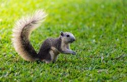 Esquilo Tailândia Fotografia de Stock Royalty Free