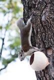 Esquilo tailandês Imagens de Stock