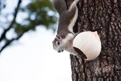 Esquilo tailandês Imagens de Stock Royalty Free