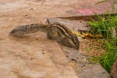 Esquilo, Tamias Sibiricus Foto de Stock