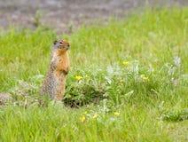 Esquilo à terra Imagem de Stock