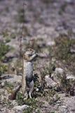 Esquilo à terra Fotografia de Stock