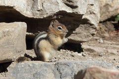 esquilo à terra Dourado-envolvido - parque nacional de Banff, Canadá Imagens de Stock Royalty Free