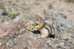 Esquilo à terra envolvido dourado Imagens de Stock