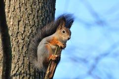 Esquilo vermelho. Fotografia de Stock