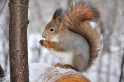 Esquilo vermelho. Foto de Stock Royalty Free
